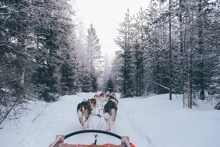 dog sled pull by dogs