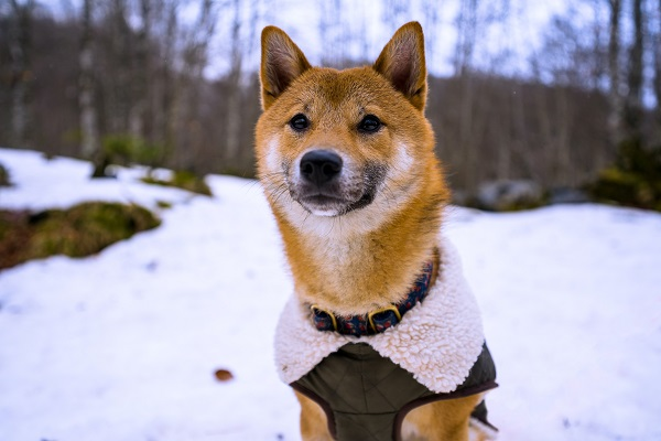 winter camping with dog